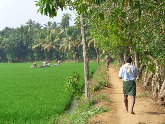 Plantation de riz, près de Kottayam, mercredi 14 décembre.