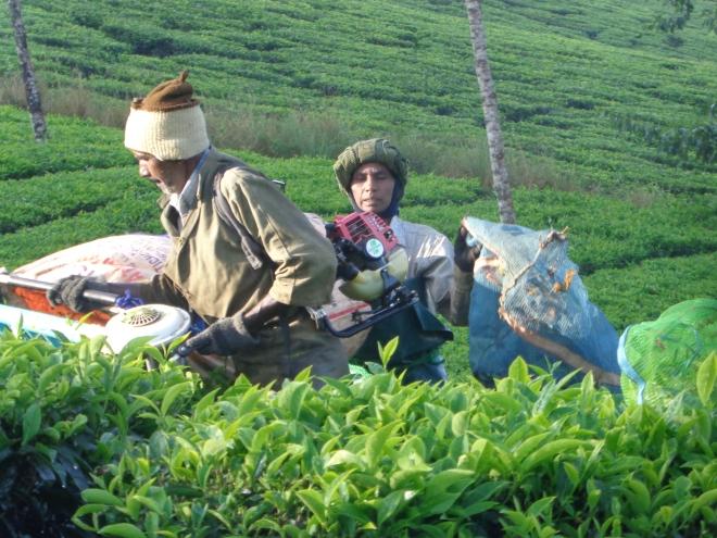 Seuls les hommes sont habilités à couper les tiges de thé à l'aide d'un sécateur électrique. Les femmes sont obligées de faire le même travail à la main...