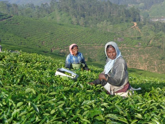 Le début dune journée de récolte dans une plantation de thé au-dessus de Munnar, 8h30, vendredi matin, 9 décembre